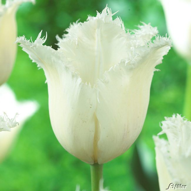 Garten-Schlueter.de: Gefranste Tulpe Honeymoon - 7 Stück