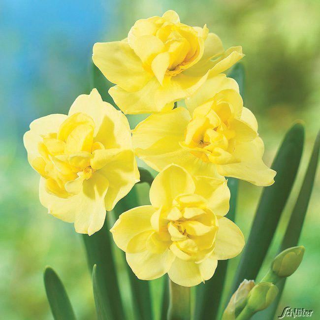 Gefüllte-Narzisse 'Yellow Cheerfulness' - 5 Stück