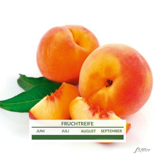 Gelber Balkon-Pfirsich 'Peach Me Yellow' Prunus persica 'Peach Me Yellow' Bild