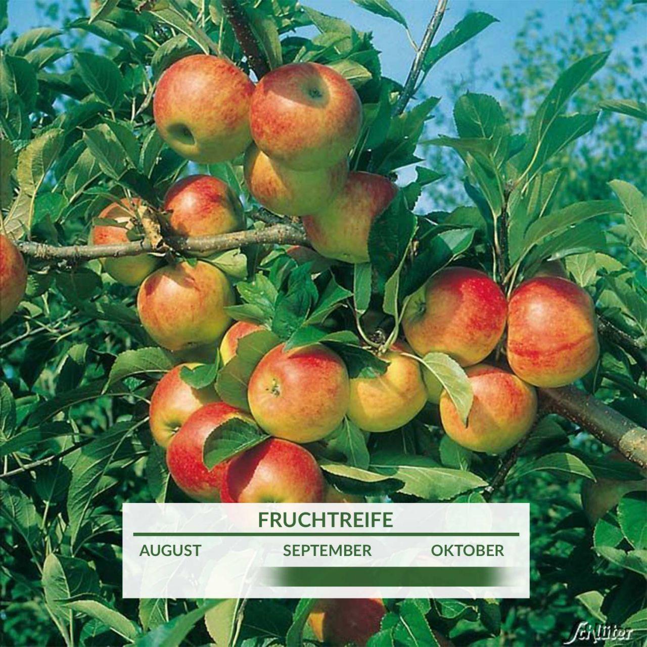 Zwerg-Apfel `Cox Orange`