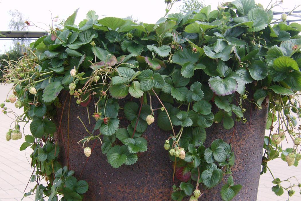 Atemberaubend Pflanzabstand bei Erdbeeren | Erdbeeren | Ratgeber | Garten Schlüter @WQ_22