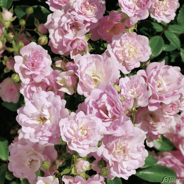 Bodendeckerrose 'The Fairy®' Rosa 'The Fairy' Bild