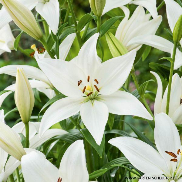 Asiatische Lilie 'Weiß' - 2 Stück Lilium 'White' Bild