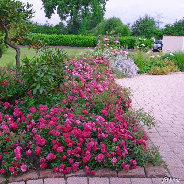 Bodendeckerrose 'Knirps®' ADR-Rose Rosa 'Knirps®' Bild