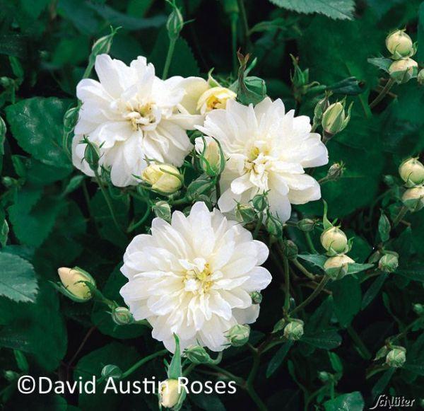 David Austin Ramblerrose 'Snow Goose®' Rosa Snow Goose Bild