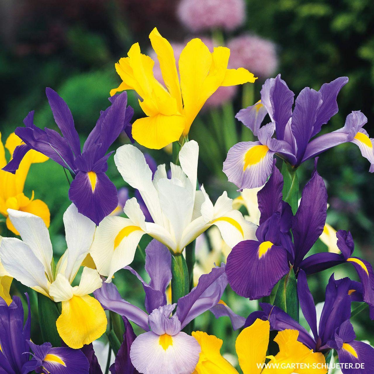 Garten-Schlueter.de: Iris Hollandica Mix - 25 Stück