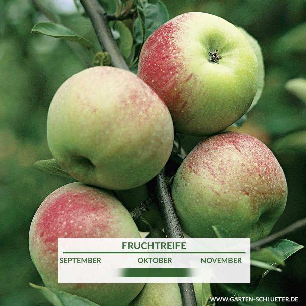 Apfel 'Ontario' Malus domestica 'Ontario' Bild