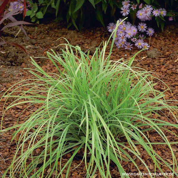 Unterbrochenährige Segge Carex divulsa Bild