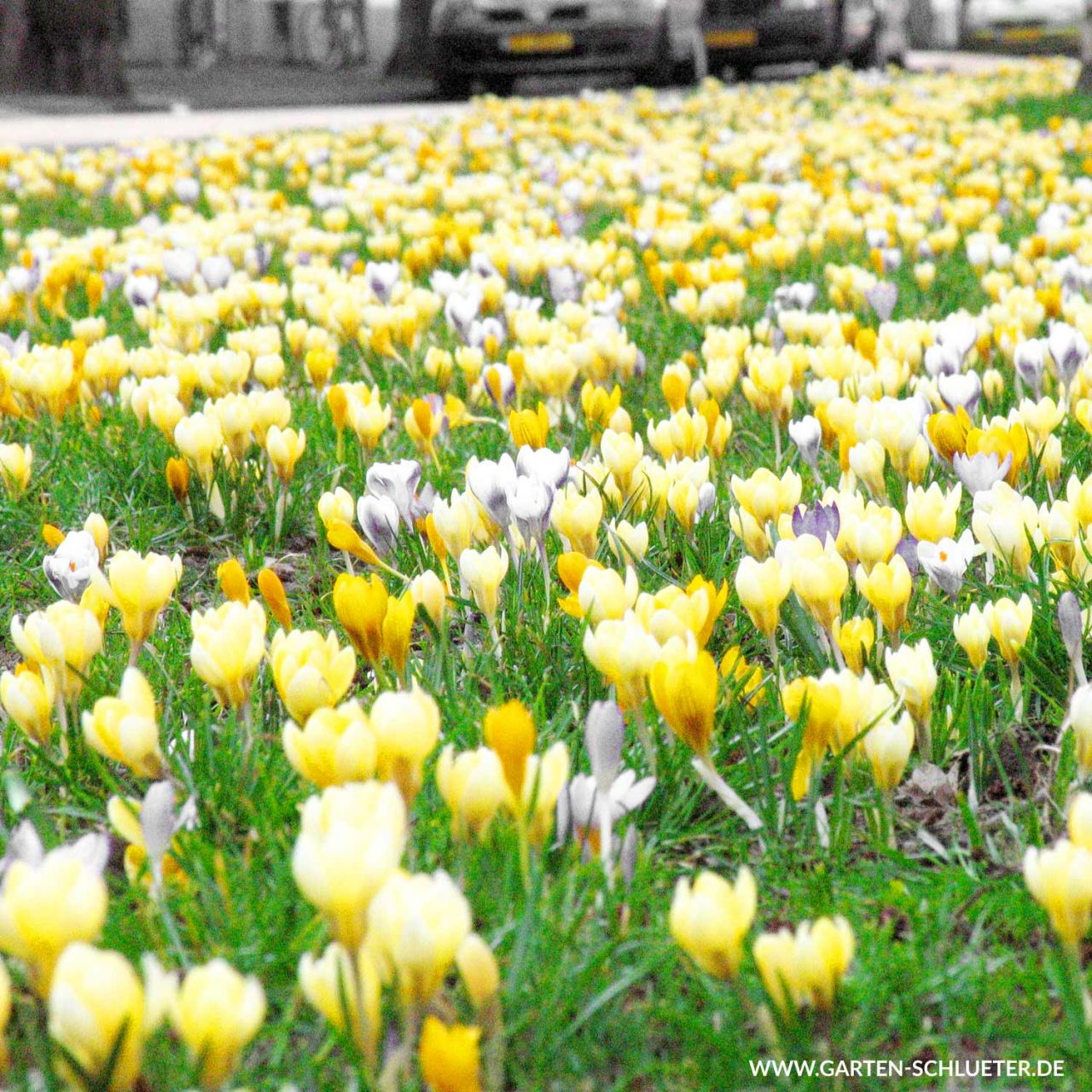 Krokus Mischung 'Yellow - White' - 40 Stück