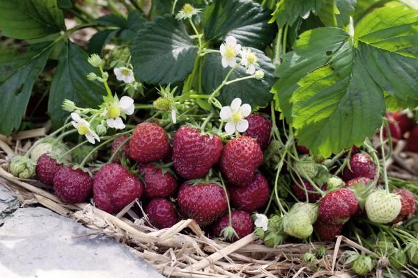 Erdbeere_Pflanzen