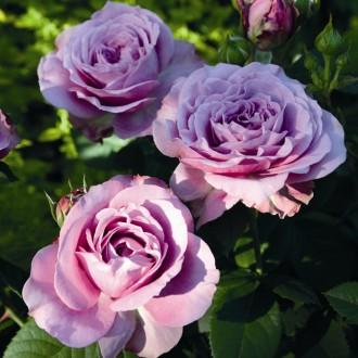 Rose_Lavender_Ice