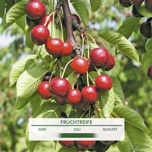 Säulen-Süßkirsche 'Victoria' Prunus Avium 'Victoria' Bild