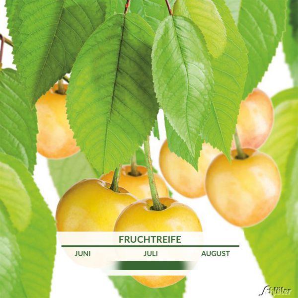 Süßkirsche 'Dönissens Gelbe Knorpelkirsche' Prunus 'Dönissens Gelbe Knorpelkirsche' Bild