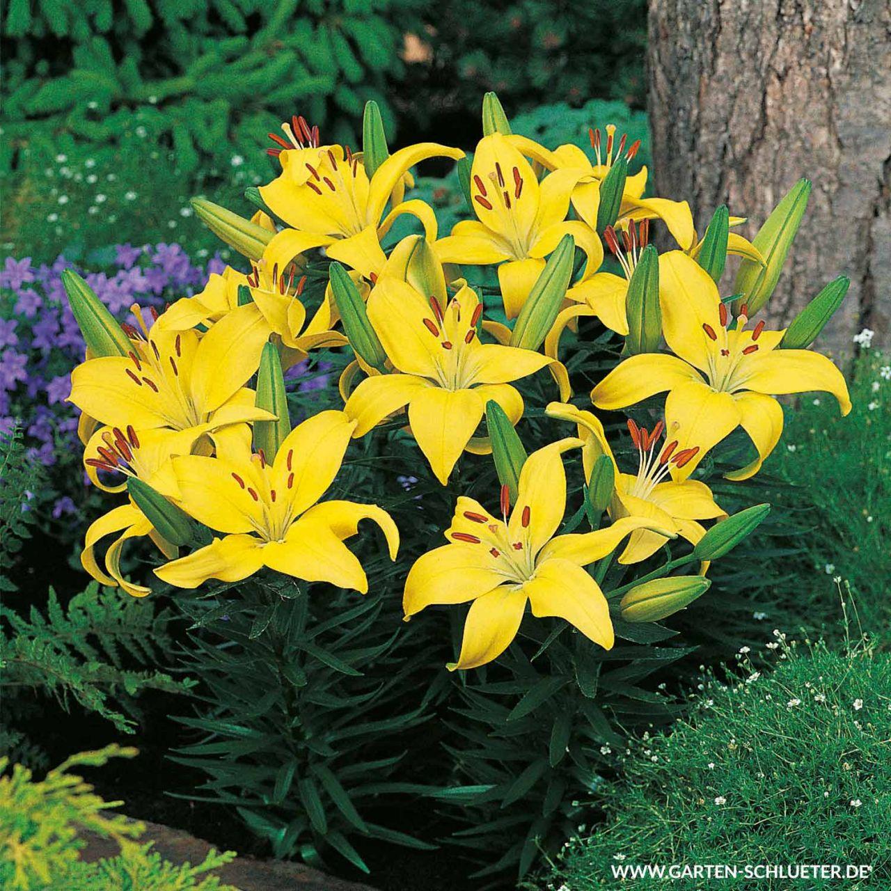 Asiatische Lilie 'Gelb' - 2 Stück