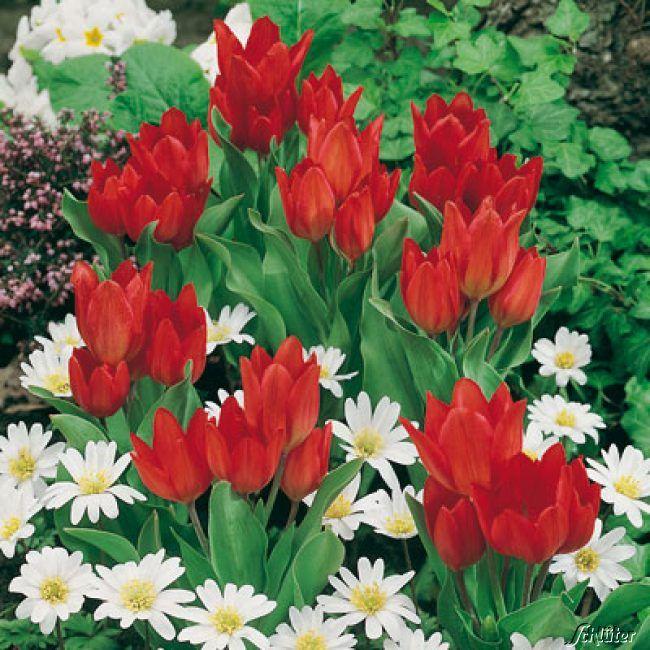 Garten-Schlueter.de: Mehrblütige Tulpe Praestans Fusilier - 10 Stück