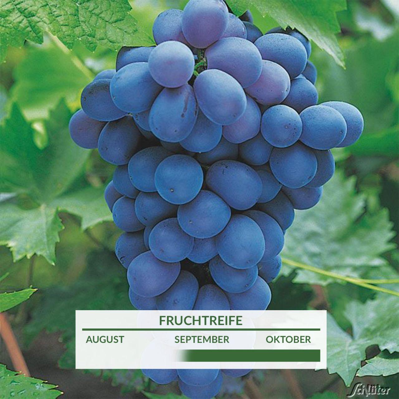 Weintraube 'Muscat bleu'