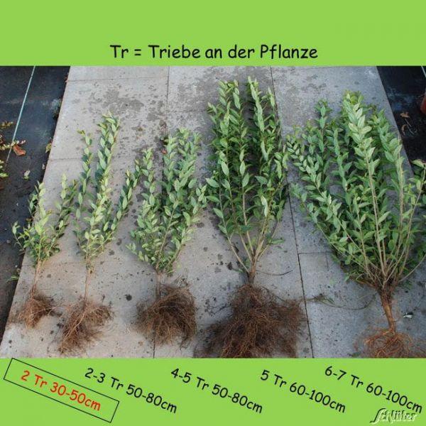 Wurzelnackte Pflanze, 30-50 cm, 2-3 Triebe, 10 Pflanzen, 10 Stück