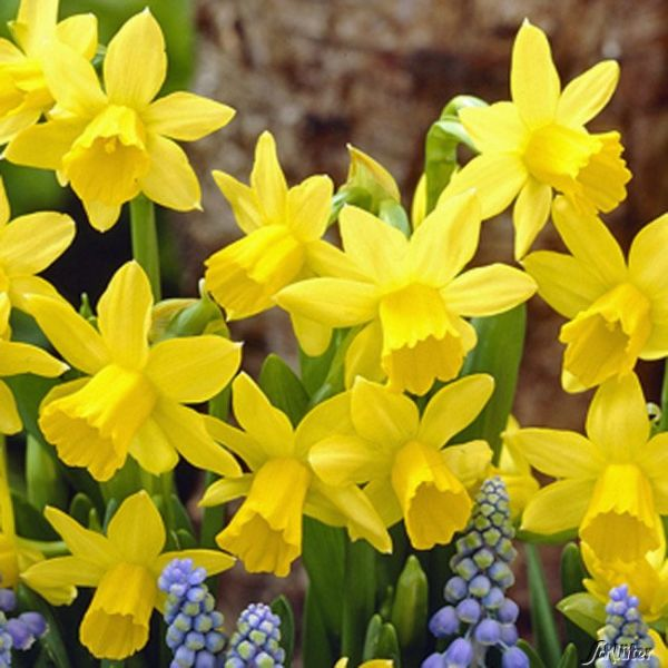 Mini-Narzisse 'Tête-à-Tête' Narcissus 'Tête-à-Tête' Bild