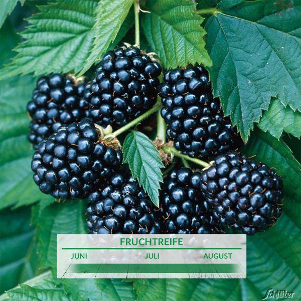 Brombeere 'Choctaw' Rubus fruticosus 'Chactaw' Bild