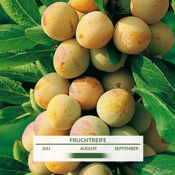 Zwerg-Mirabelle 'Nancy' Prunus dom. Mirabelle de Nancy Bild