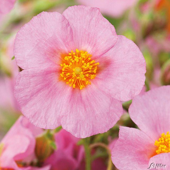 sonnenr schen 39 rosa 39 3 st ck helianthemum schneckenresistente stauden garten schl ter. Black Bedroom Furniture Sets. Home Design Ideas