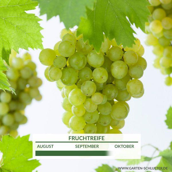 Weintraube 'Polo Muskat' Vitis vinifera 'Polo Muskat' Bild