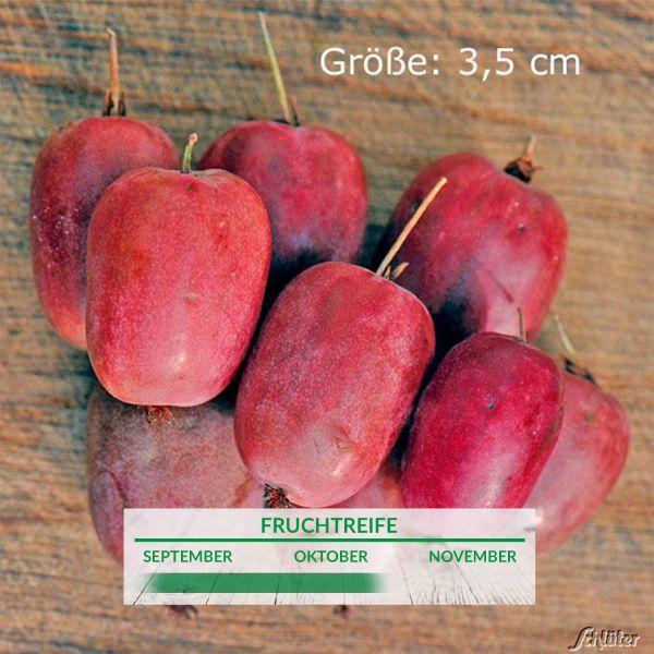 Stachelbeer-Kiwi 'Purpurna' Actinidia arguta Bild