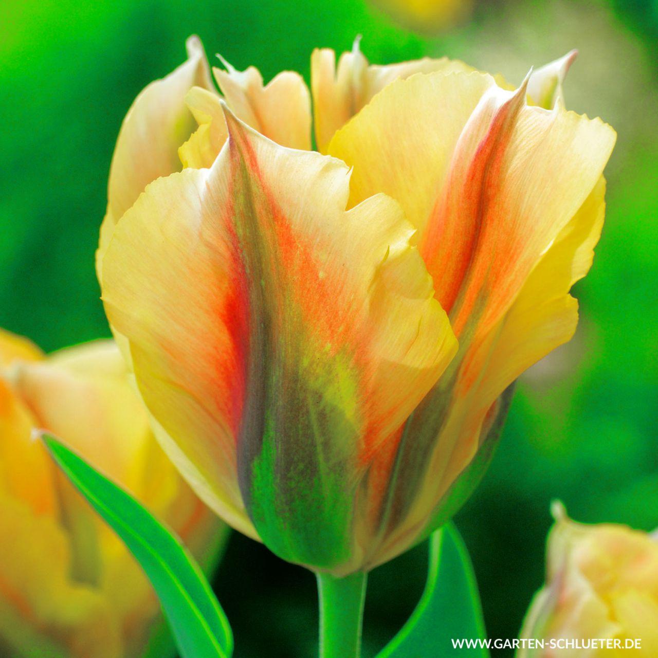 Viridiflora Tulpe 'Golden Artist' - 7 Stück
