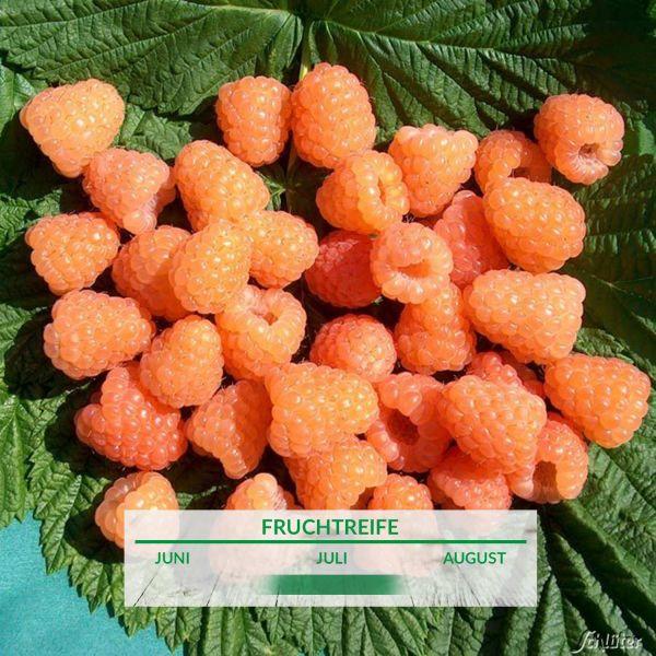 Himbeere 'Valentina®' - die Orangefarbene Rubus idaeus Bild