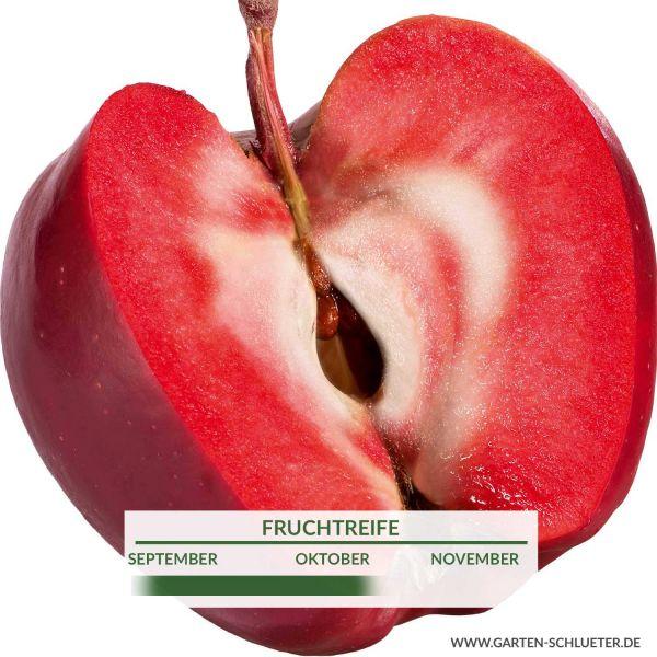 Roter Apfel 'Vampira' Malus domestica 'Vampira' Bild