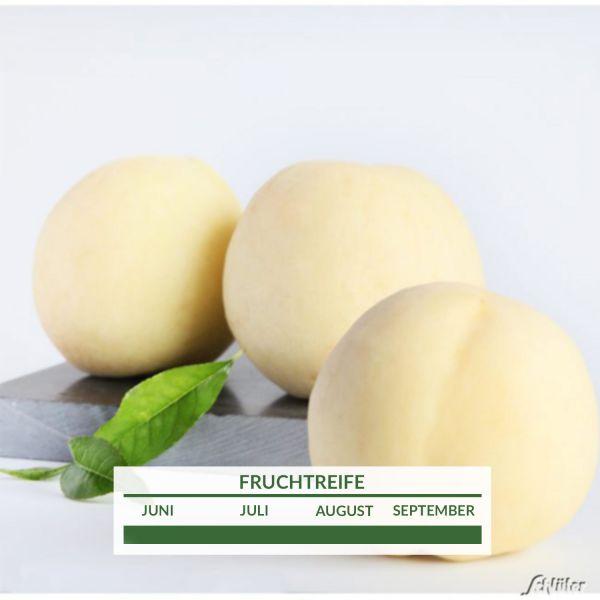 Weißer Pfirsich 'Icepeach' Prunus persica 'Icepeach' Bild