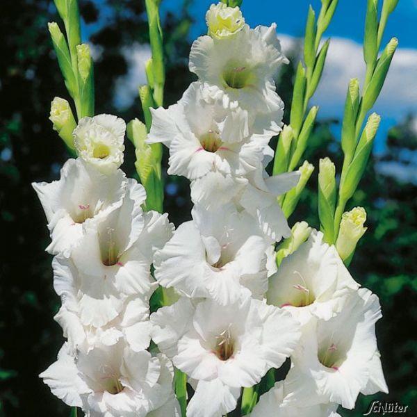 Gladiole 'White Prosperity' - 10 Stück Gladiolus Bild