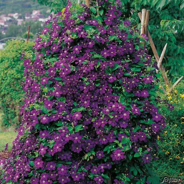 Clematis 'Etoile Violette' Clematis viticella 'Etoile Violette' Bild