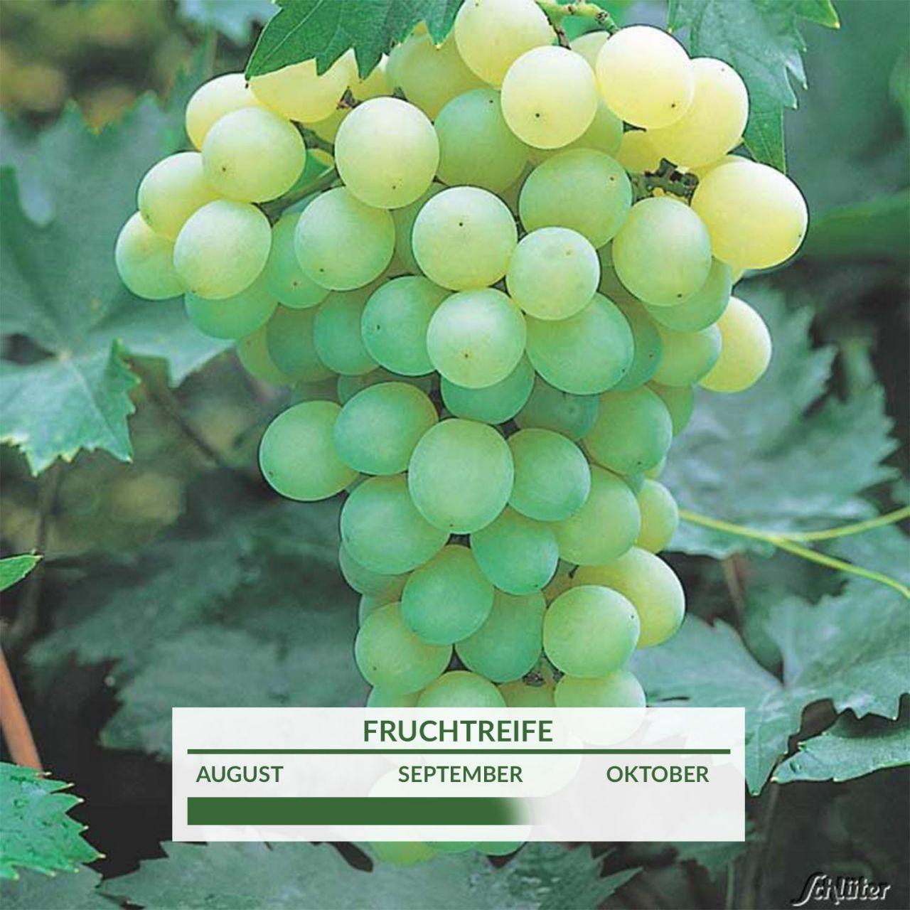 Wände begrünen mit schmackhaften Weintrauben