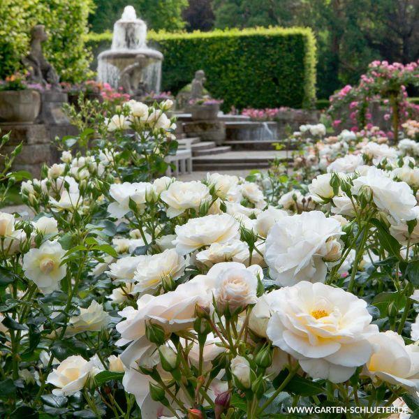 Beetrose 'Martin Luther Rose®' Rosa 'Martin Luther Rose®' Bild