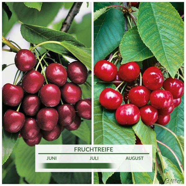 Süßkirschen-Baum 'Duo' Prunus avium 'Duo' Bild
