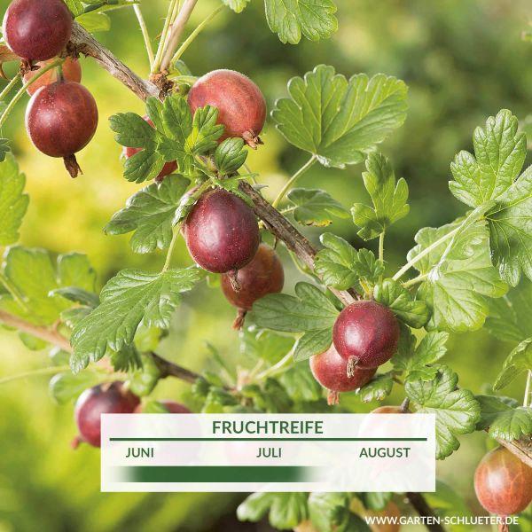 Stachelbeere 'Roko' Ribes uva-crispa 'Roko' Bild