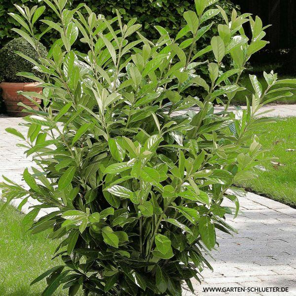 Kirschlorbeer 'Novita' Prunus laurocerasus 'Novita' Bild