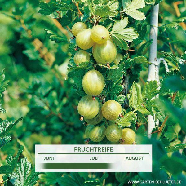 Stachelbeere 'Invicta®' Ribes uva-crispa 'Invicta®' Bild