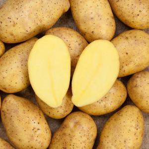 Kartoffel_Leyla-300x300