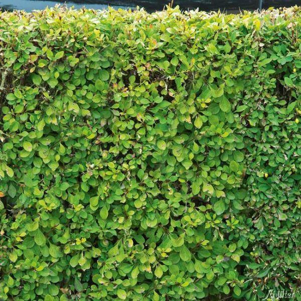 Grüne Heckenberberitze Berberis thunbergii Bild