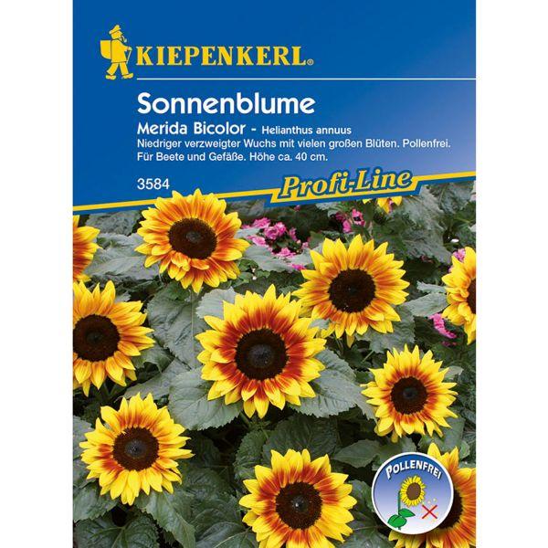 Sonnenblume 'Merida Bicolor' Helianthus annuus Bild
