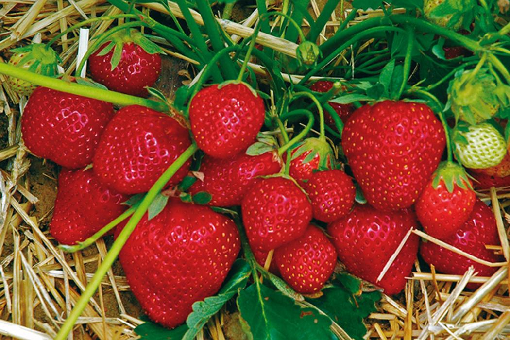 Erdbeeren Mulchen Erdbeeren Ratgeber Garten Schlüter