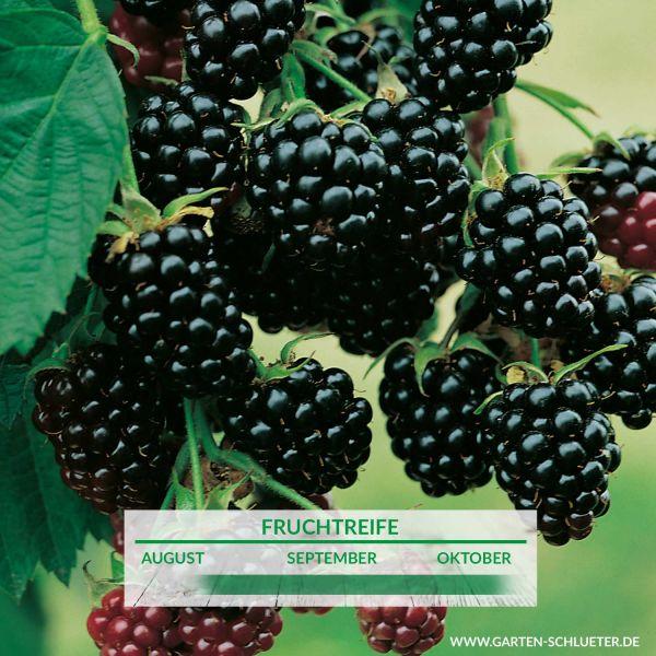 Brombeere 'Dirksen Thornless' Rubus fruticosus 'Dirksen Thornless' Bild