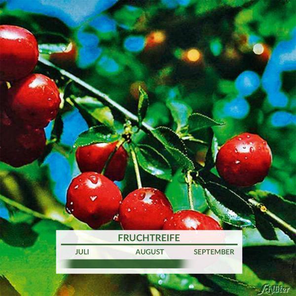 Sauerkirsche 'Karneol®' Prunus cerasus Bild