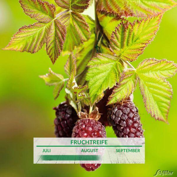 Boysenberry Rubus ursinus x idaeus 'Boysenberry' Bild