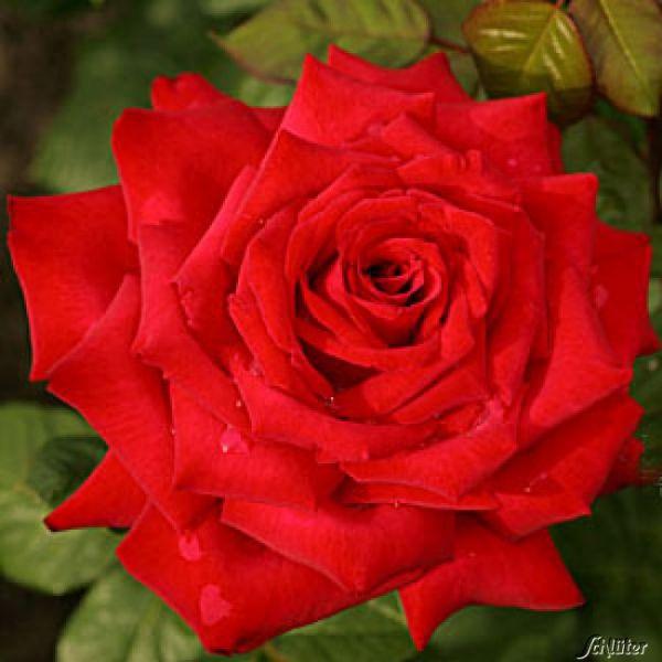 Edelrose 'Burgund 81®' Rosa 'Burgund 81®' Bild