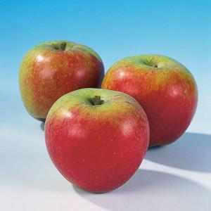 Apfel-Malus-Allergiker-Alkemene-FM-14217906-PA-300x300