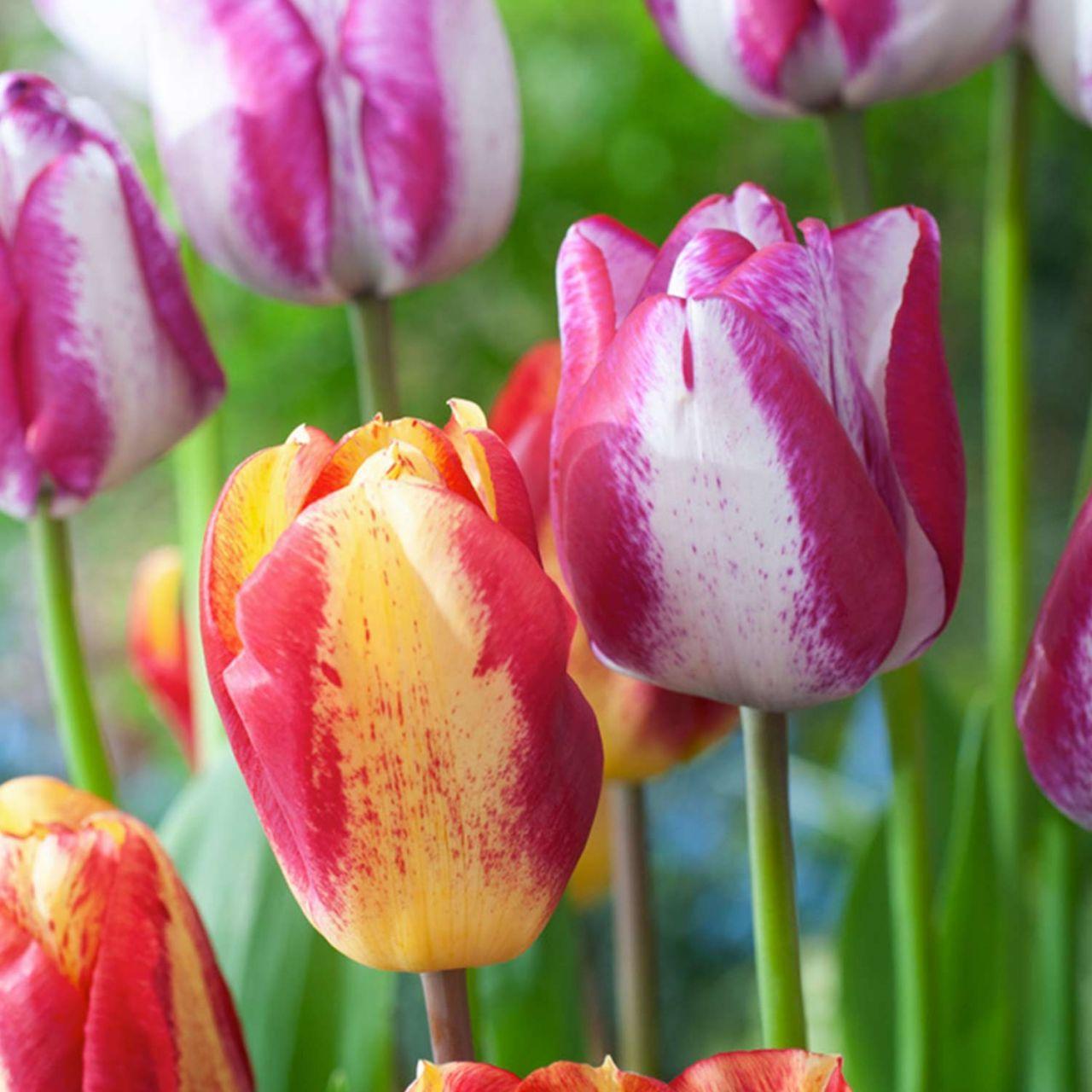 Triumph-Tulpe 'Flaming Beauty Mix' 10 Stück
