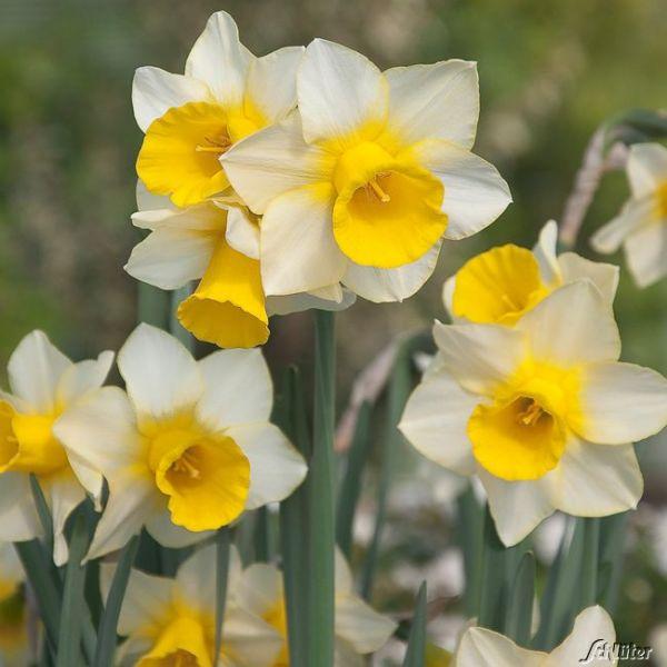 Mini-Narzisse 'Golden Echo' - 5 Stück Narcissus Bild